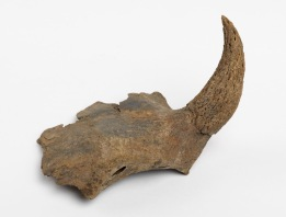 A cattle horn core found during the Bull Ring excavations in the late 1990s. Horn cores were the only waste product from the cattle, as everything else including the meat, skin and horn were sold.